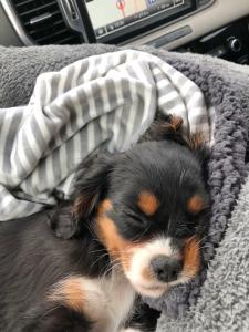 tri-coloured puppy asleep in bed
