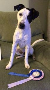 black and white pup sitting on sofa with rosette