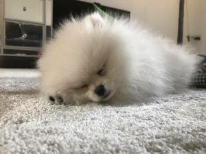 pup alseep