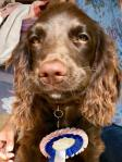 brown spaniel pup with rosette