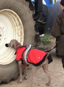 dog sniffing a large tractor wheel